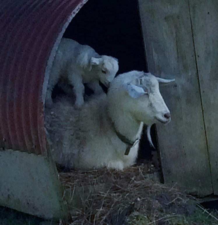 Ewe with lamb on back