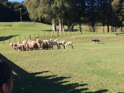 sheepdog hearding sheep