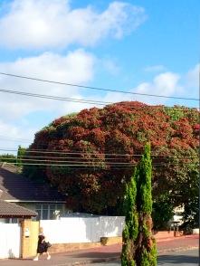 A big Pohutakawa as seen from our terrace